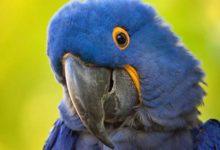 Photo of Серо голубой гиацинтовый ара