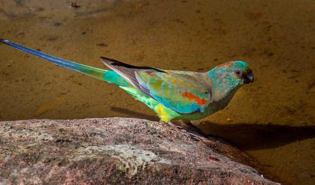 синий ара вымерший вид