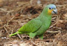 Photo of Попугай венесуэльский амазон