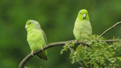 Photo of Воробьиные попугайчики
