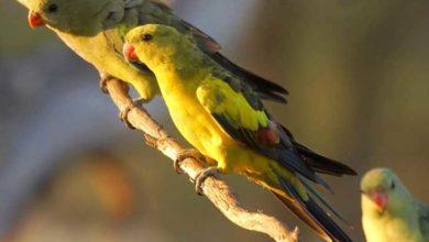 Photo of Роскошный горный попугай