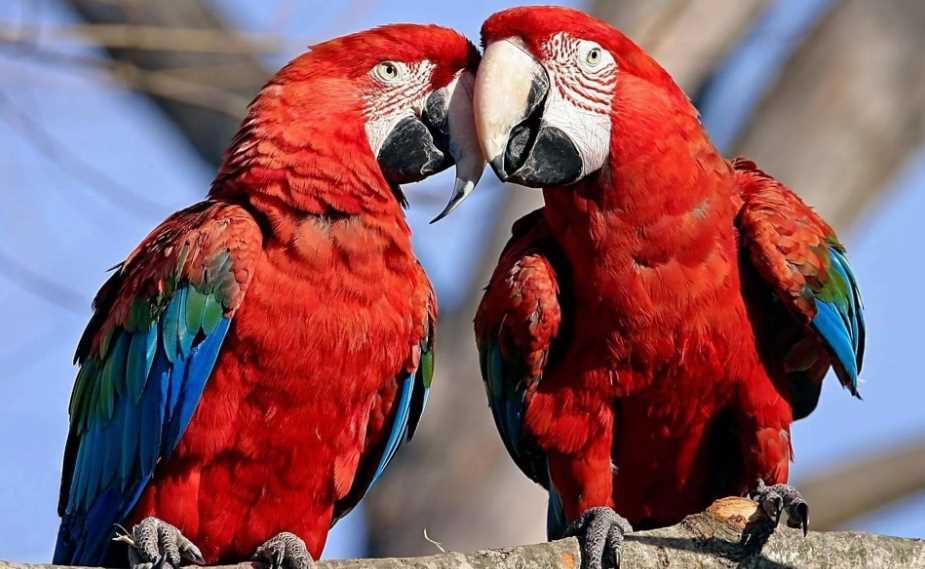 какого попугая лучше завести дома