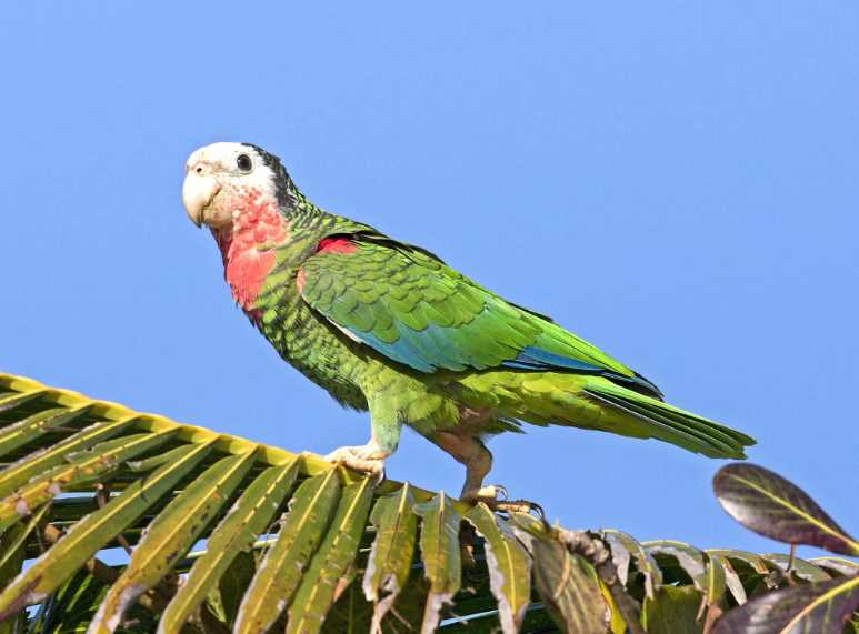 амазон кубинский попугай