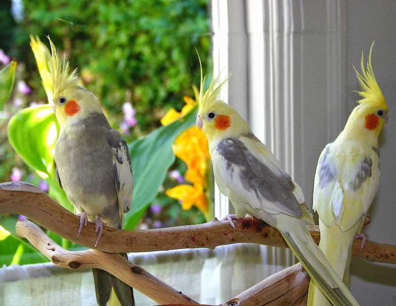 сколько живет корелла попугай