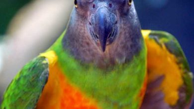 Photo of Сенегальский попугайчик — описание вида