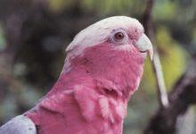 Photo of Попугай розовый какаду