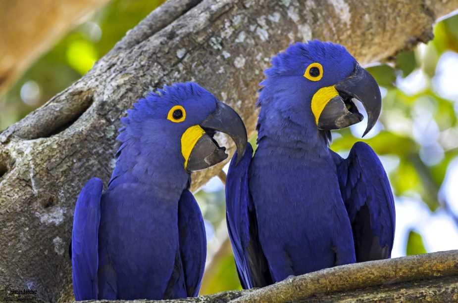 гиацинтовый серо голубой ара