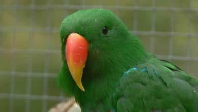 Photo of Попугай эклектус — благородный попугайчик
