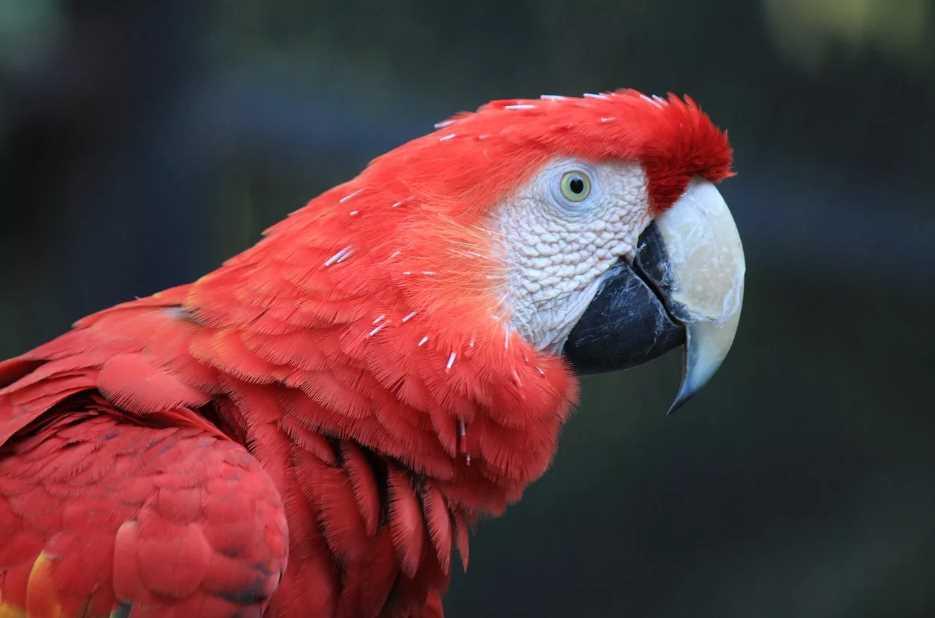 синий попугай ара вымер