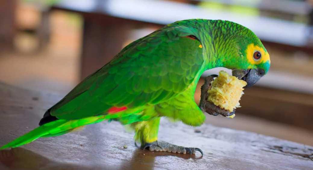амазон попугай венесуэльский