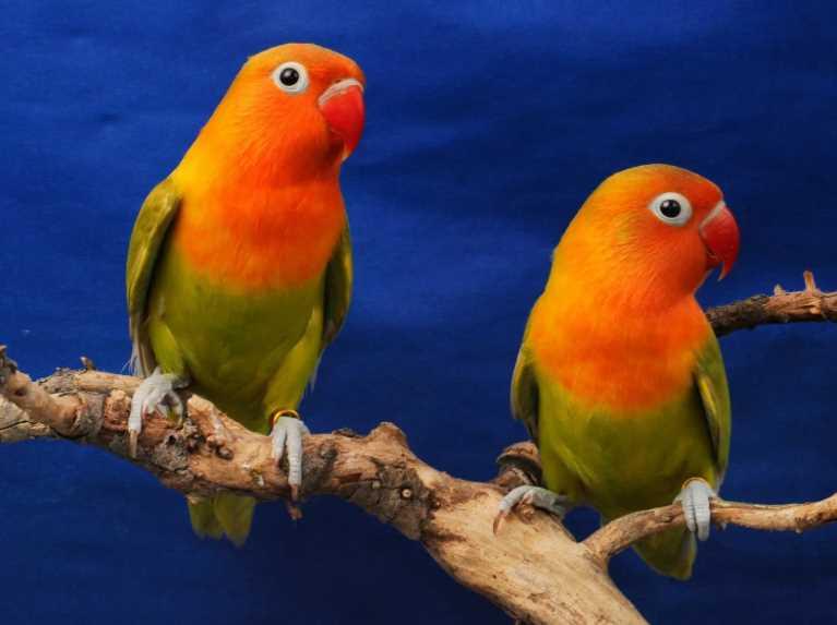 попугай масковый