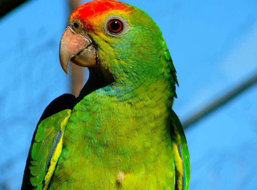 попугай дома плюсы и минусы