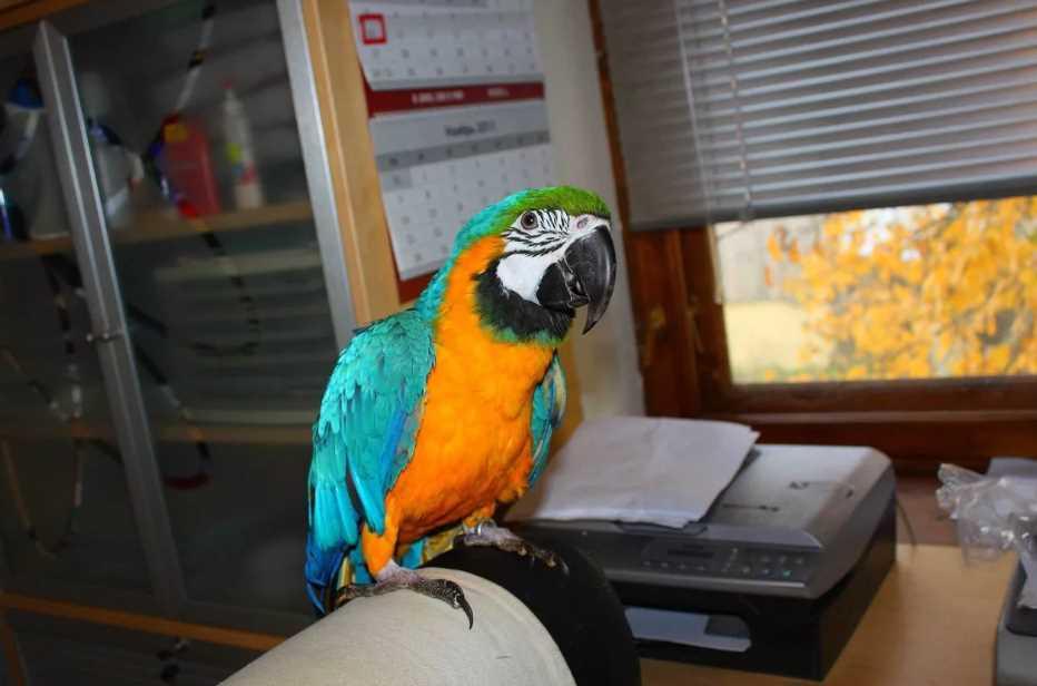 сколько живут попугаи ара в домашних условиях