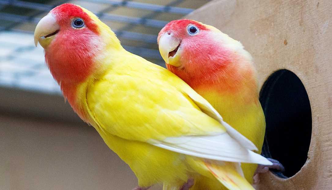 сколько лет живут попугаи неразлучники в домашних условиях