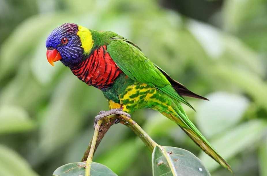 лорикет попугай радужный