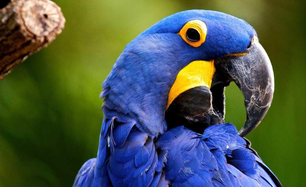 ара попугай гиацинтовый