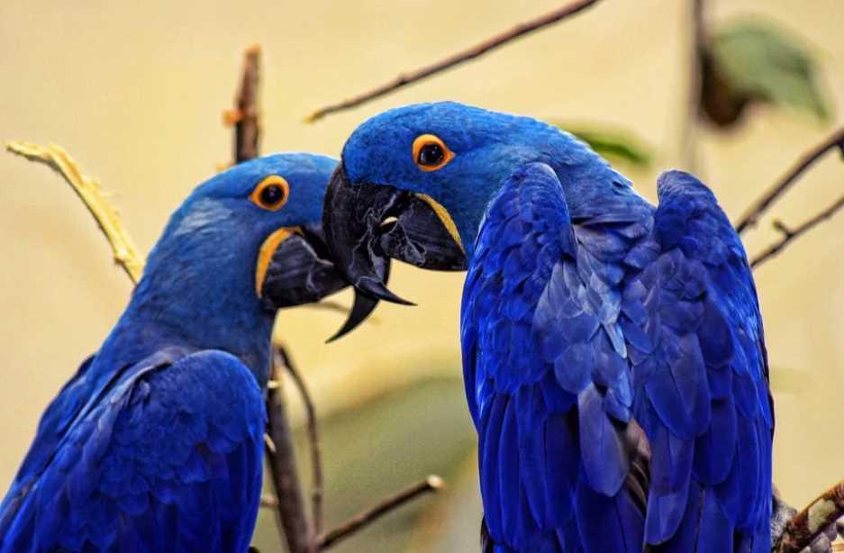 голубой попугай