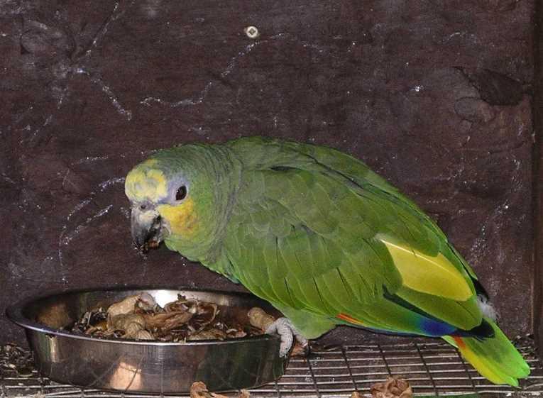 венесуэльский попугай амазон