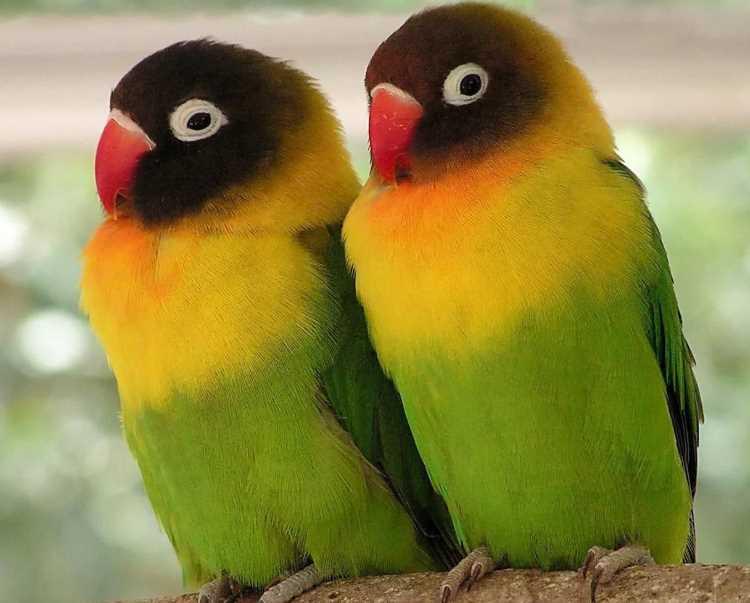 масковый попугай
