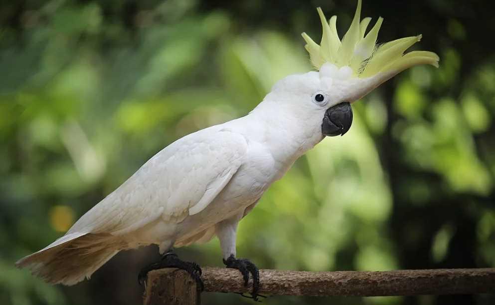 какой попугай лучше для дома