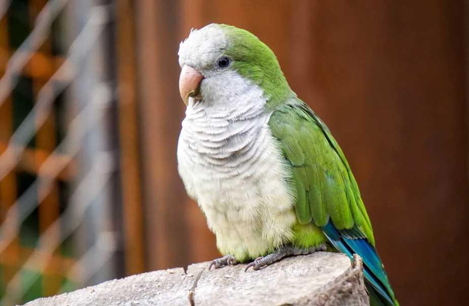 интеллект волнистого попугая
