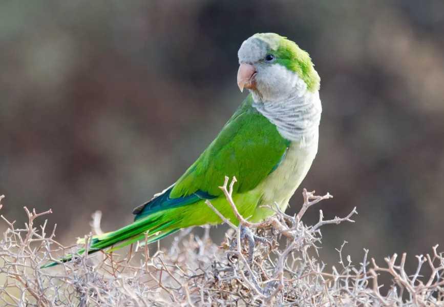 квакеры попугаи