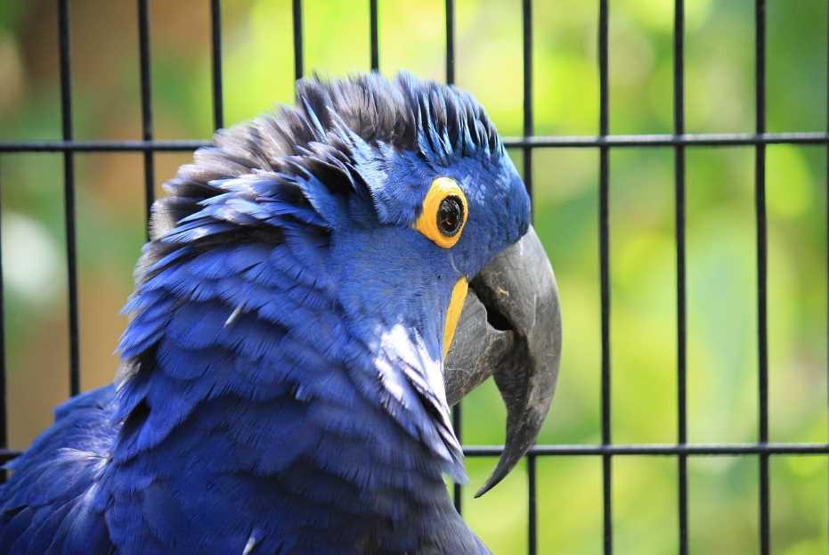 голубой гиацинтовый ара