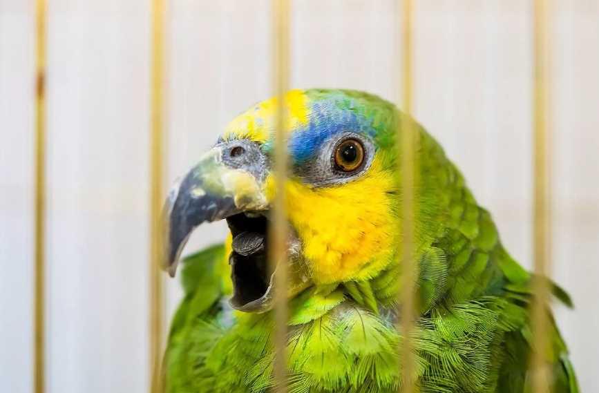 попугай венесуэльский