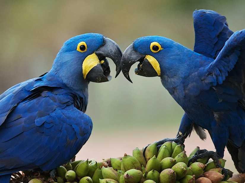 гиацинтовый попугай ара