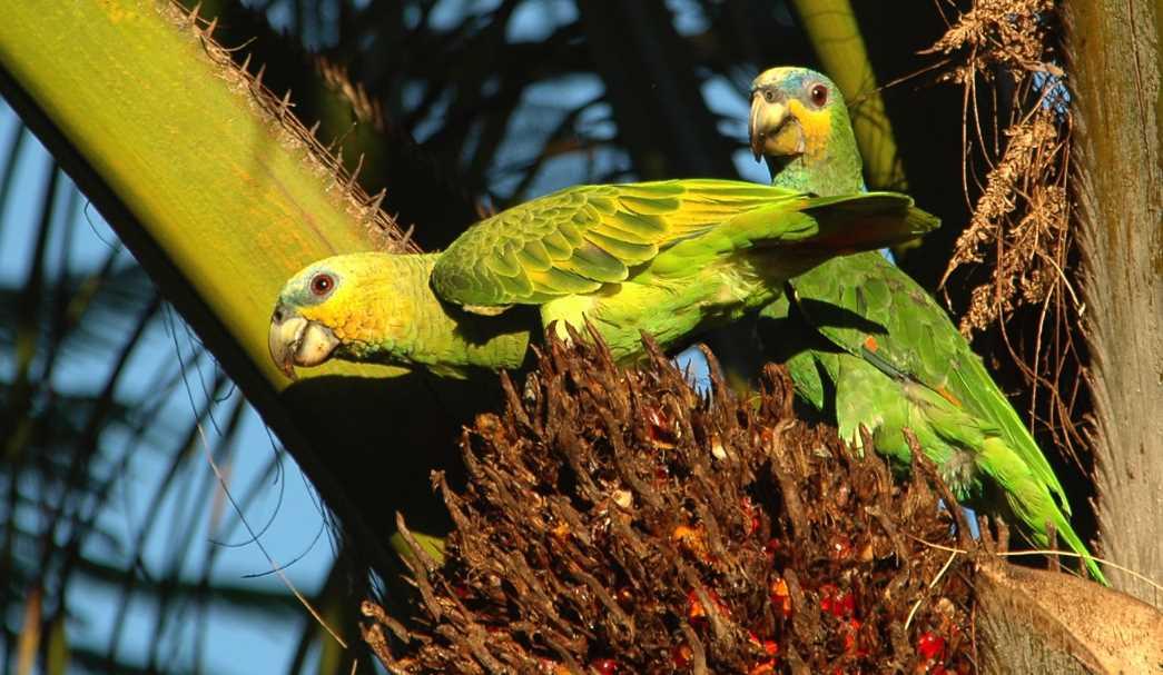 венесуэльский попугай