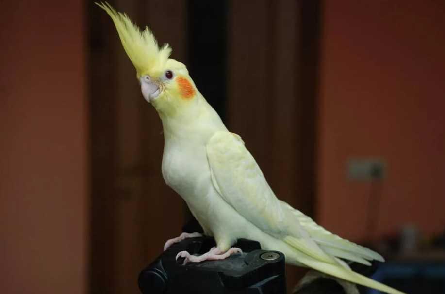 какого попугая лучше завести