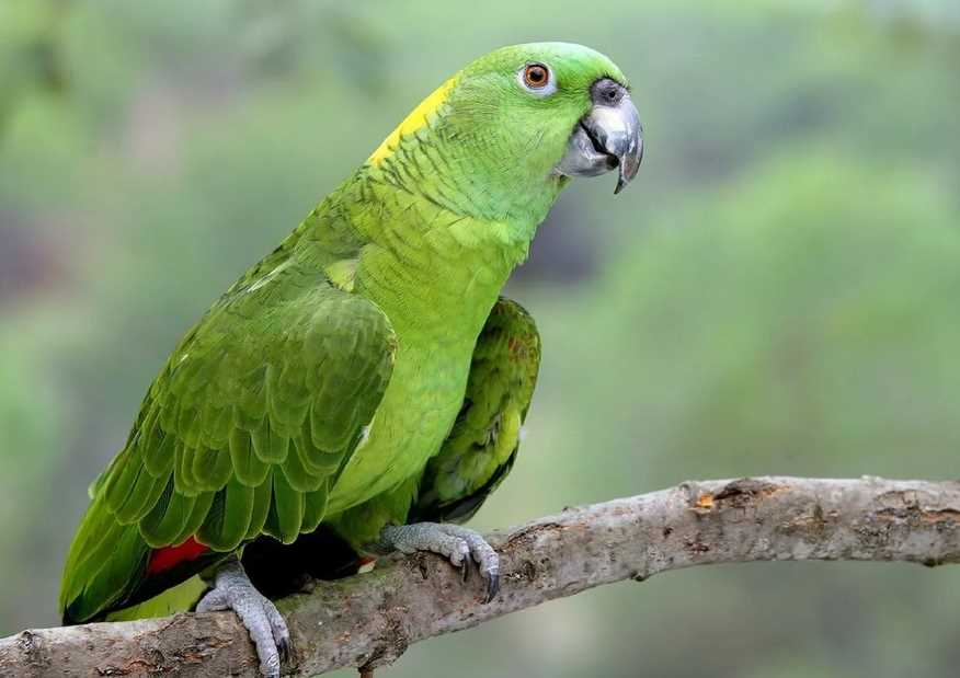 самый умный попугай в мире