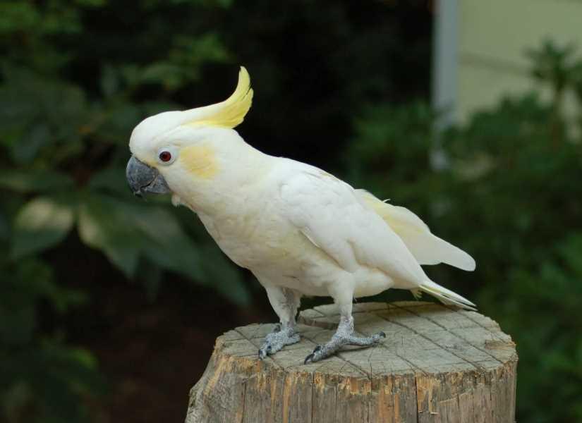 желтохохлый какаду большой