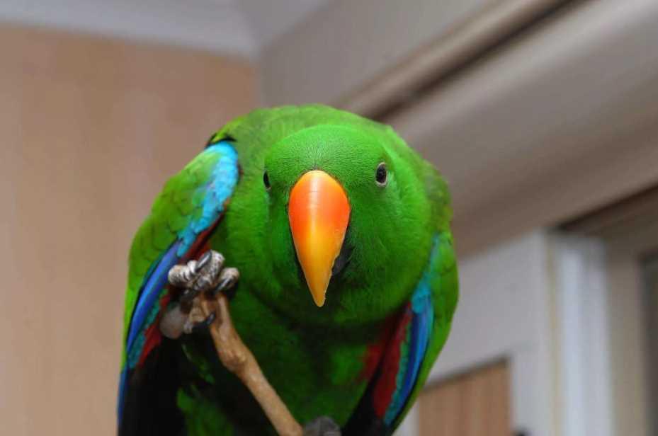 попугай благородный эклектус