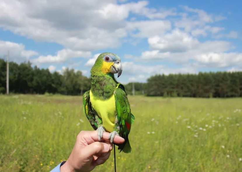 попугай амазон венесуэльский