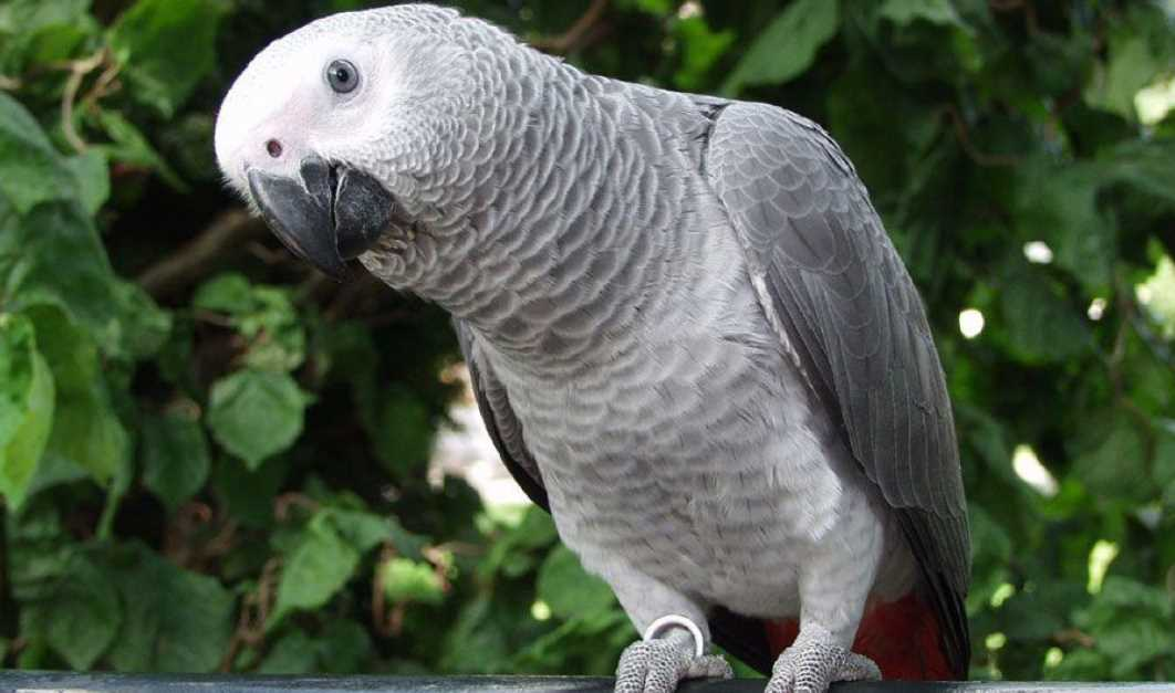 самые умные попугаи