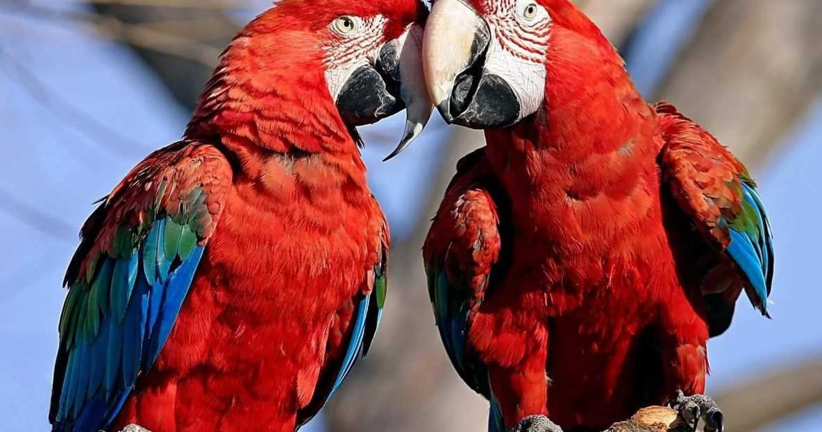 сколько живут попугаи ара
