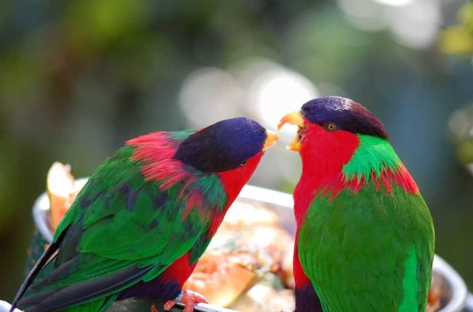 попугай с кисточкой на языке австралийский