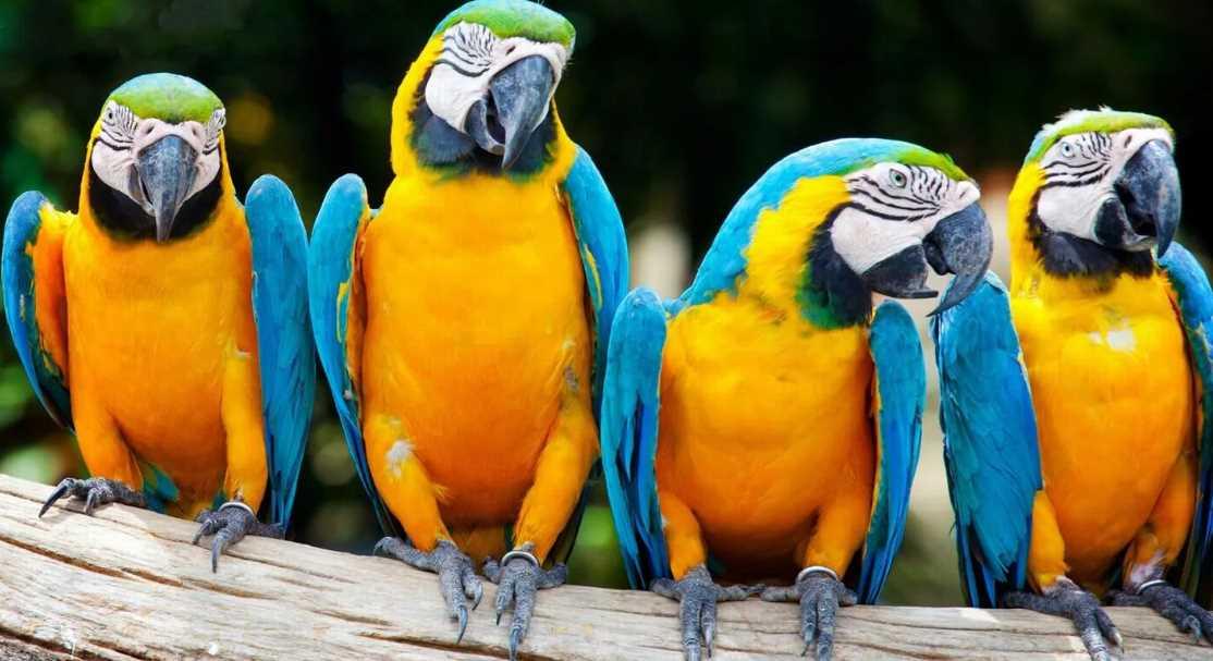 виды попугаев для домашнего содержания