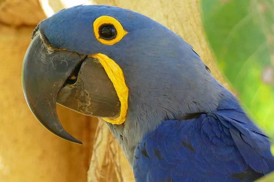 гиацинтовый попугай