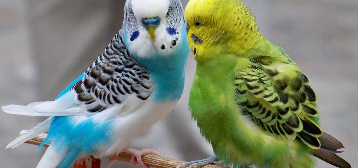 Где живут волнистые попугаи