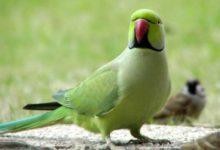 Photo of Ожереловый попугай — продолжительность жизни
