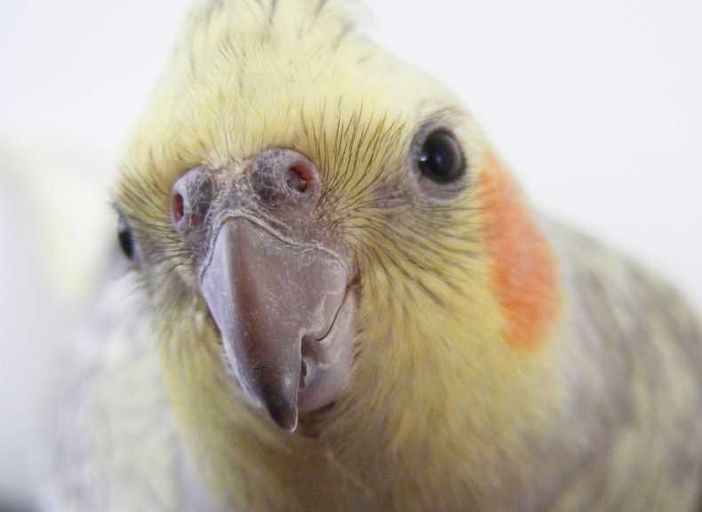 почему волнистый попугай щелкает клювом