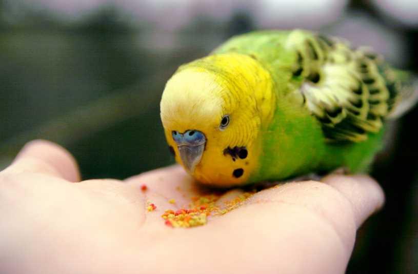 сколько попугаи могут прожить без еды