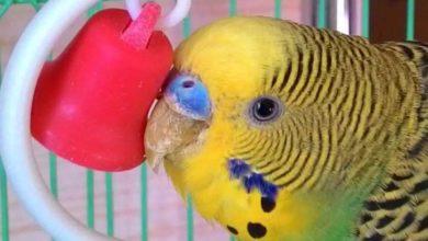 Photo of Сухая восковица у волнистого попугая — что делать?