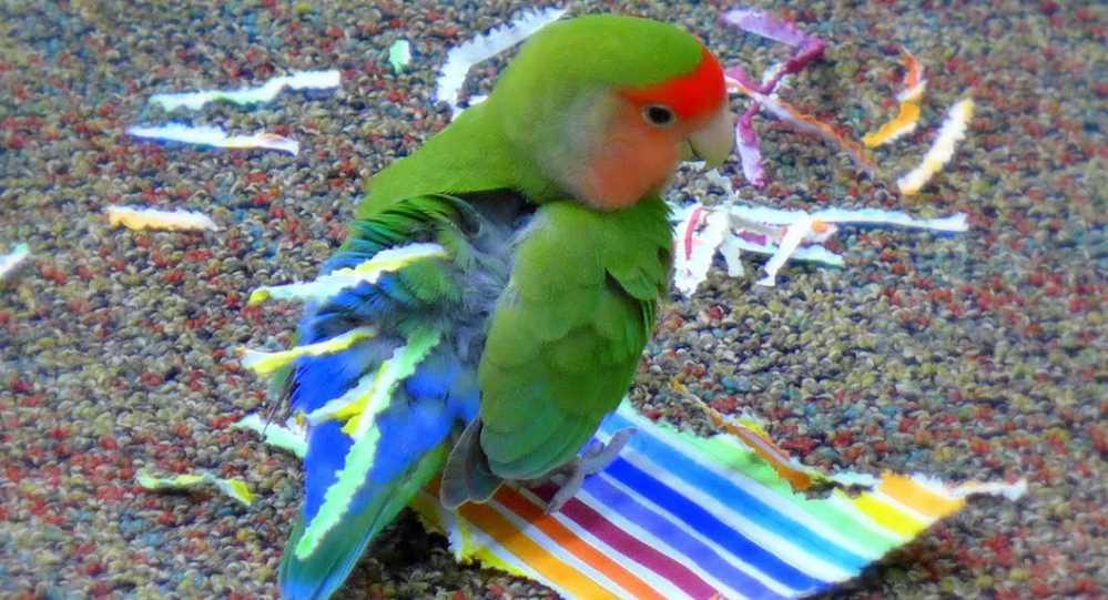 зачем вставляют бумагу в хвост попугаи