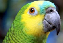 Photo of Синелобый амазон — уход и содержание попугайчика