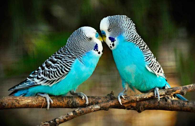 у волнистого попугая опухоль на животе