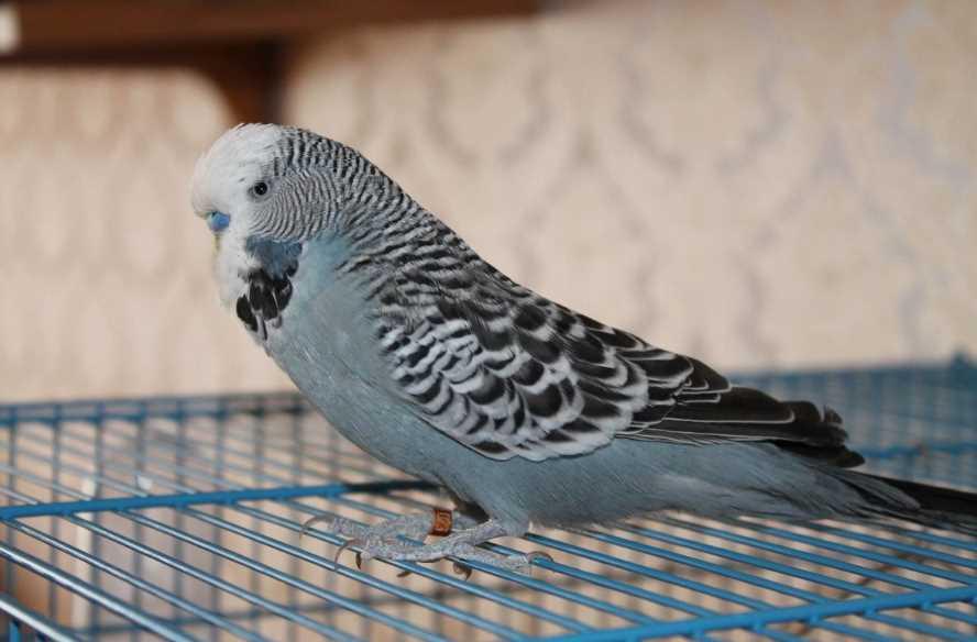 нужно ли выпускать попугая из клетки полетать