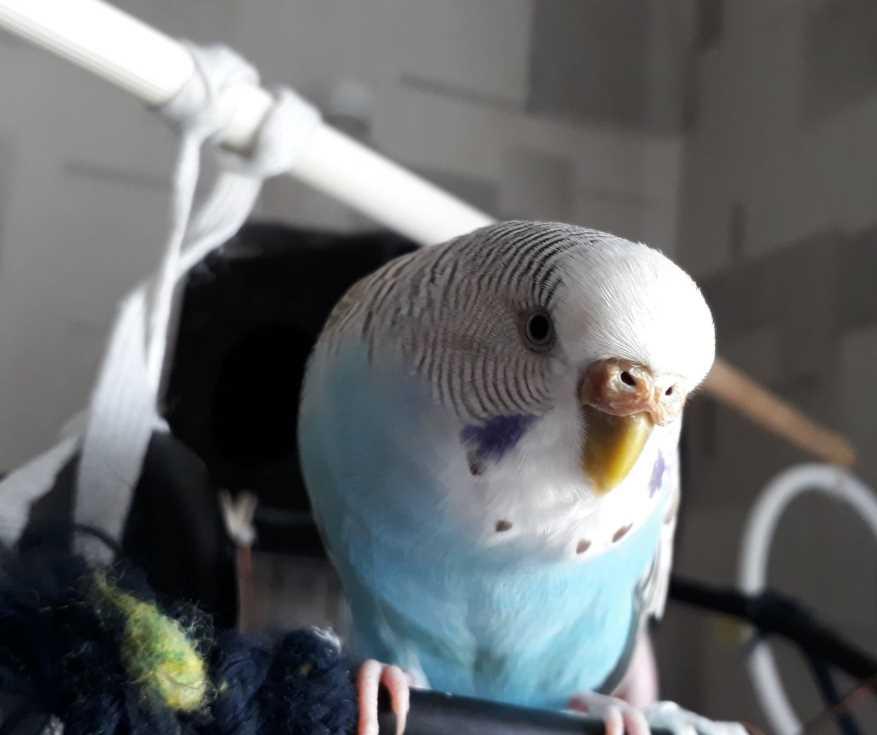 какая температура тела волнистого попугая